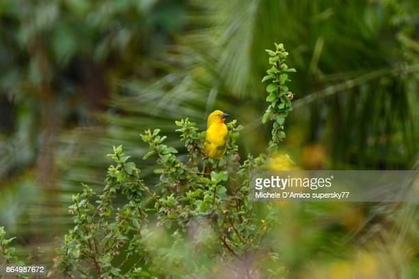 holub's golden weaver (ploceus xanthops) - michele weaver stock pictures, royalty-free photos & images