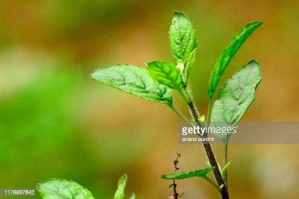 holy basil - black krishna tulsi plant - spirituality stock pictures, royalty-free photos & images