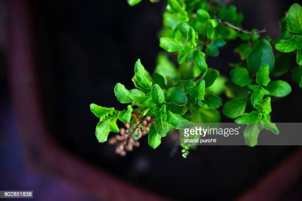 holy basil plant (ocimum tenuiflorum), tulsi - an ayurvedic medicine - religion stock pictures, royalty-free photos & images