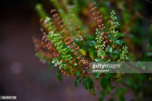 Holy Basil Plant (Ocimum tenuiflorum), Tulsi - An ayurvedic medicine