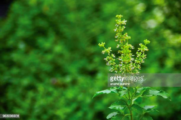 World's Best Tulsi Plant Stock Pictures, Photos, and Images