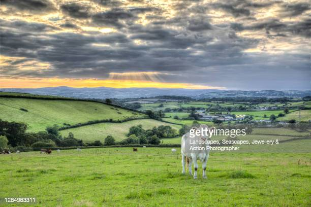 holy cow - luton stock pictures, royalty-free photos & images