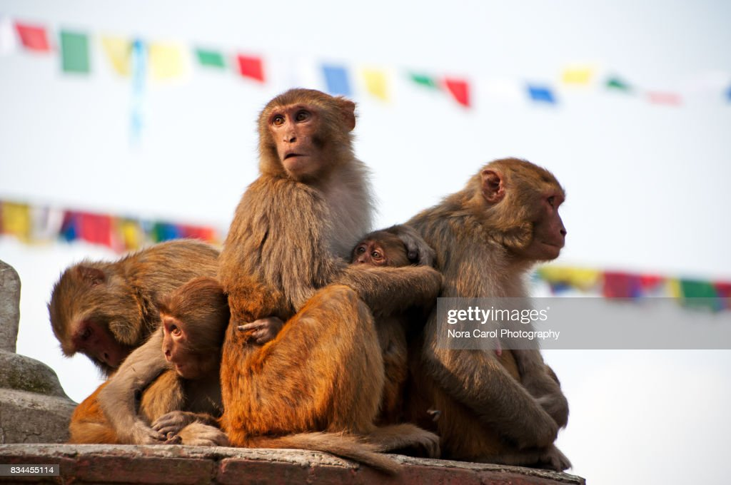 Holy Monkey at Swayambhunath Monkey Temple Nepal : Stock Photo