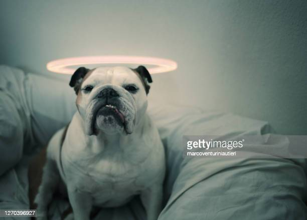 holy saint innocent dog - marcoventuriniautieri stock pictures, royalty-free photos & images