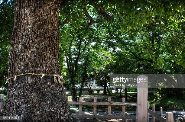 Holy Tree with thin Shimenawa around it