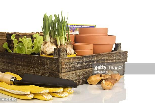 Holzkiste mit Blumentöpfen Salat Narzissen und Zwiebeln |Wooden box with flower pots lettuce daffodils and onions|