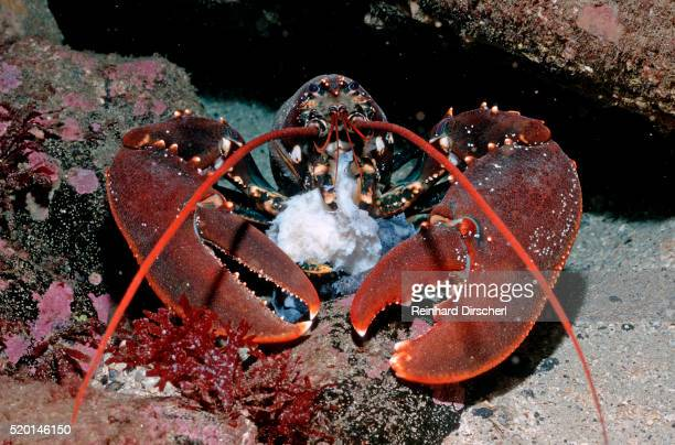 "homarus gammarus.lobster.""atlantic ocean, norway"" - aragosta foto e immagini stock"