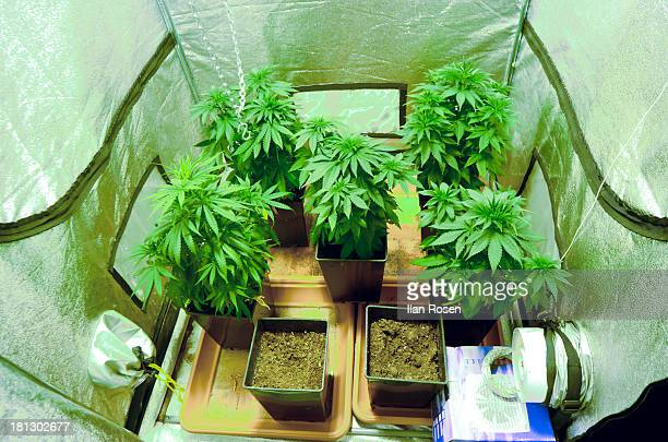 Home Grown Cannabis plants. Skunk marijuana plants being grown in pots. The leaves and flower heads of this plant contain the psychoactive chemical...