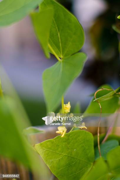 home grown runner bean plant flowering - bush bean stock photos and pictures