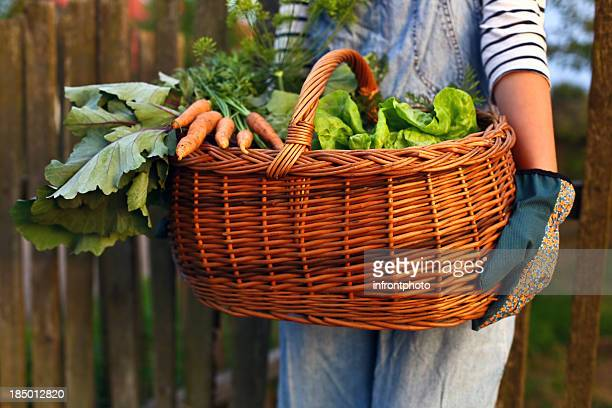 Home grown vegetables in a basket carried by gardener