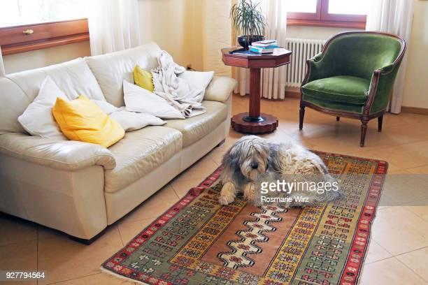 home interior with sheepdog  resting on persian rug - persian rug - fotografias e filmes do acervo
