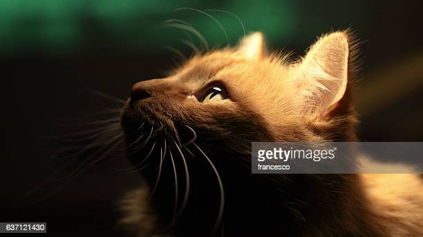 home lion - animal whisker stock pictures, royalty-free photos & images