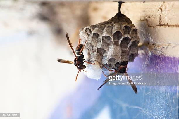 home makers - nido di vespe foto e immagini stock