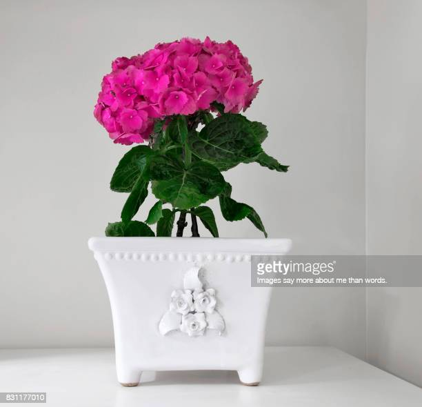 Home Moments - Pink hydrangea on a white cachepot - Still life