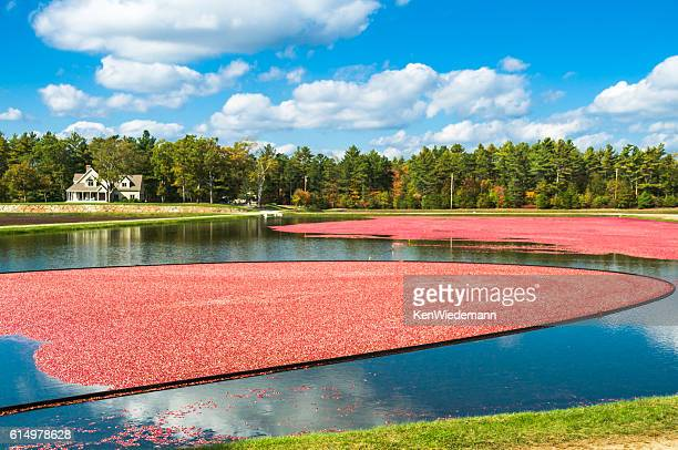 home on the bog - cranberry harvest stock pictures, royalty-free photos & images