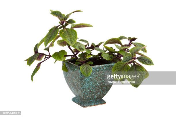 home plant flower tree - fig tree stock pictures, royalty-free photos & images