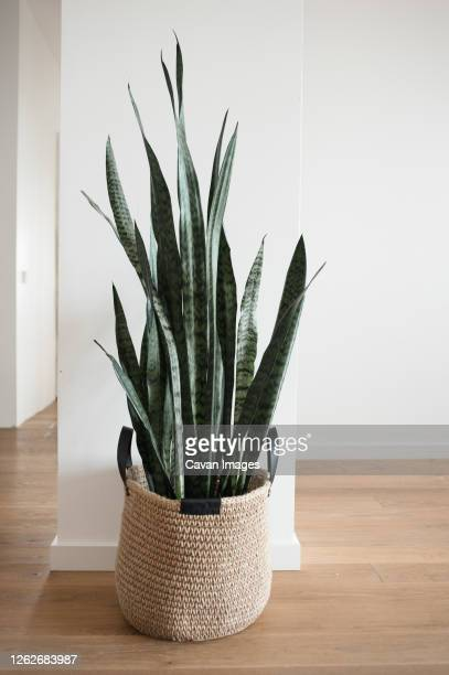 home plant in jute basket with handles stands on floor in new house. - wicker stock pictures, royalty-free photos & images