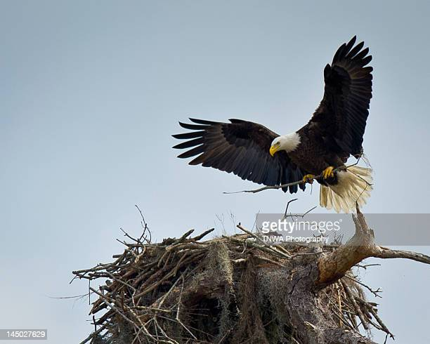 home sweet home - eagle nest stock photos and pictures