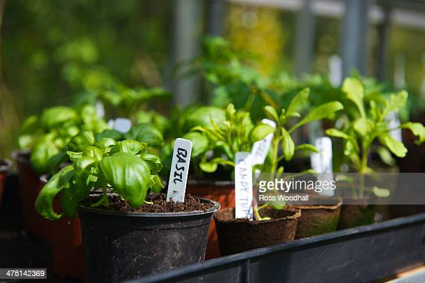 homegrown basil in pots - herb stock pictures, royalty-free photos & images