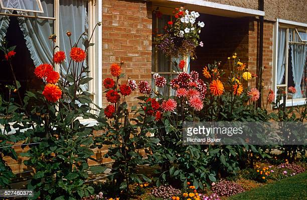 Homegrown beds of dahlias grow in the front garden of a council house in the early 1960s The flowers are fine specimens of this species Prospering...