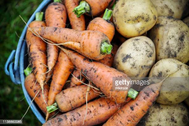 homegrown fresh harvest of garden carrots and potatoes - potato harvest stock pictures, royalty-free photos & images