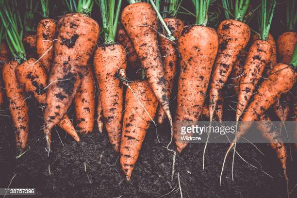 homegrown fresh harvest of orange garden carrots - crop plant stock pictures, royalty-free photos & images