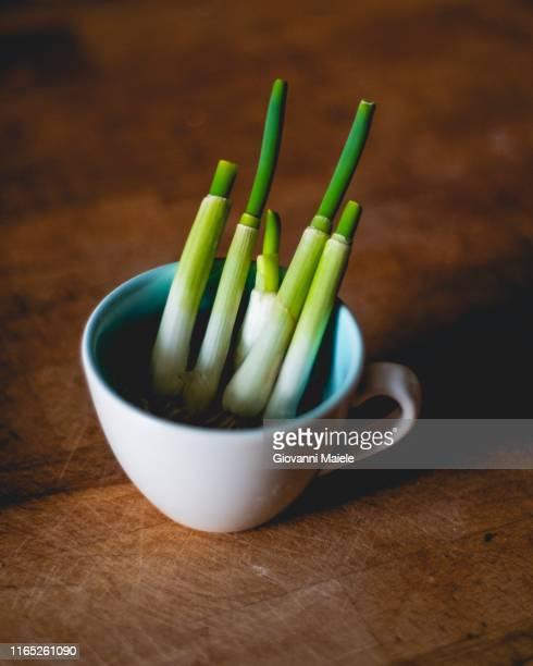 homegrown spring onions. - cipollina foto e immagini stock