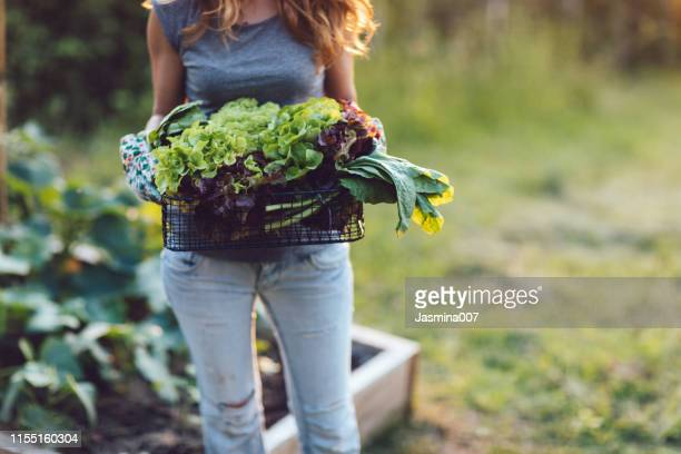 homegrown vegetables, healthy vegan lifestyle - lettuce stock pictures, royalty-free photos & images