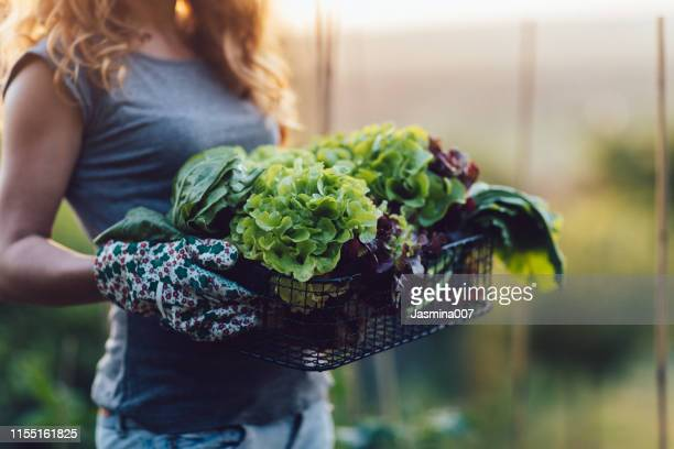 homegrown vegetables, healthy vegan lifestyle - leaf vegetable stock pictures, royalty-free photos & images