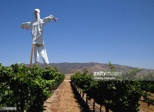 homemade scarecrow towers over rows of grapevines - timothy hearsum stock photos and pictures