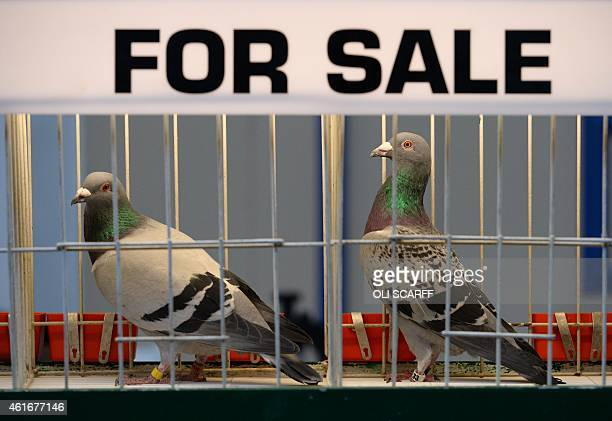 60 Top Racing Pigeon Pictures, Photos and Images - Getty Images