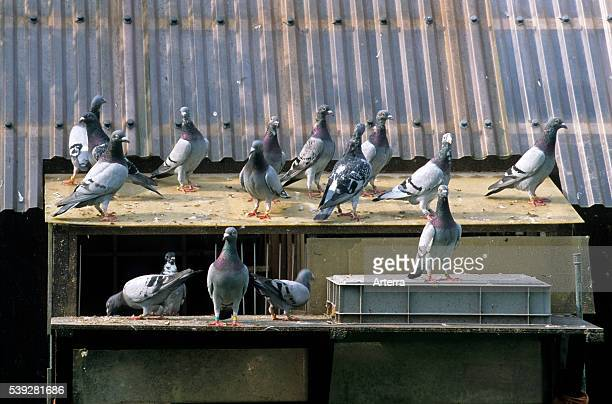 Homing pigeons on dovecote