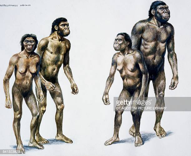 Hominids of the Australopithecus robustus or Paranthropus robustus genus widespread in southern Africa drawing
