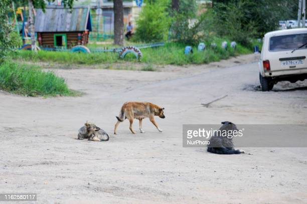 Homless dogs wandering around many places in Chita Zabaykalsky Krai Russia on August 18 2019