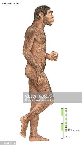 Homo Erectus Upright Man Which Lived From Approximately 1000 To 200000 Years Ago