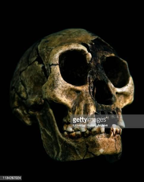 Homo floresiensis is an extinct species in the genus Homo.