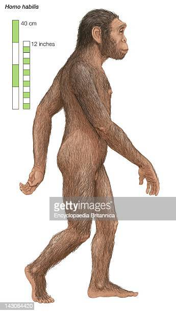 Homo Habilis Able Man Or Handy Man Which Lived From 2 To 15 Million Years Ago