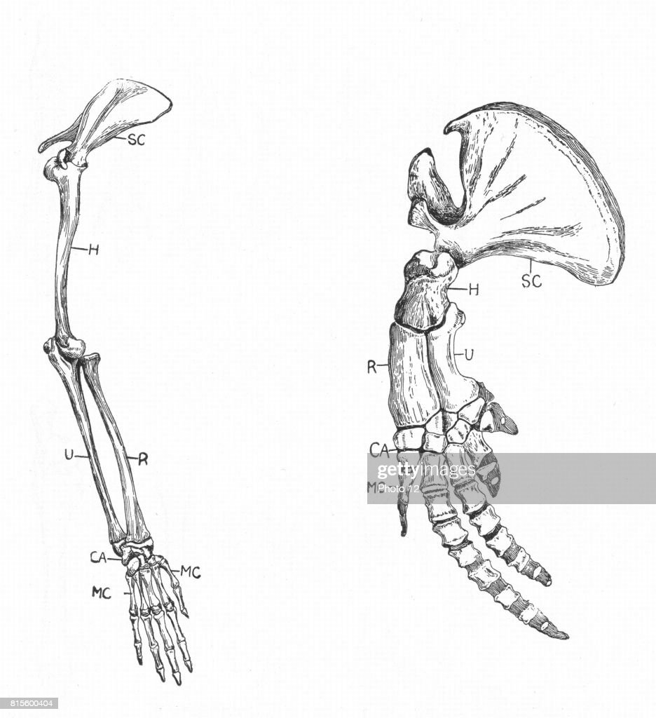Ulna Stock Photos And Pictures