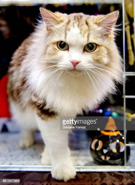 Honbury Monstermunch aka Murphy Cat participates in the GCCF Supreme Cat Show at National Exhibition Centre on October 28 2017 in Birmingham England