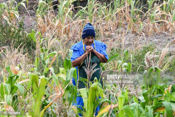 Honduran woman Santos Rodriguez walks through a cornfield affected by the drought in San Buenaventura 30km south from Tegucigalpa on August 15 2018...