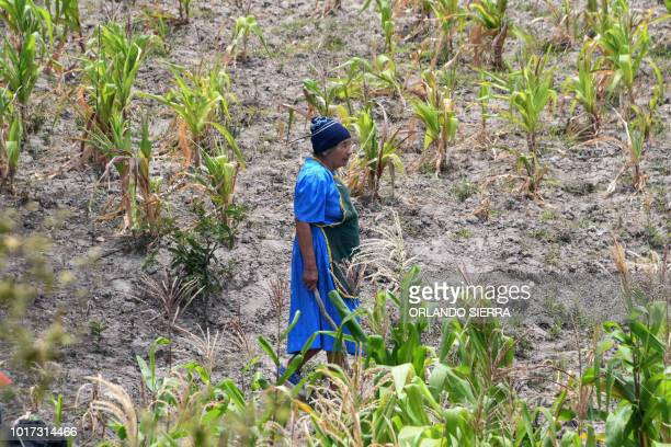 Honduran Santos Rodriguez walks through a cornfield affected by the drought in San Buenaventura 30km south from Tegucigalpa on August 15 2018 About...