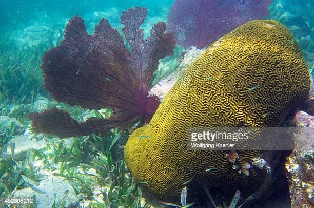Honduras Bay Islands Utila Island Brain Coral And Fan Coral