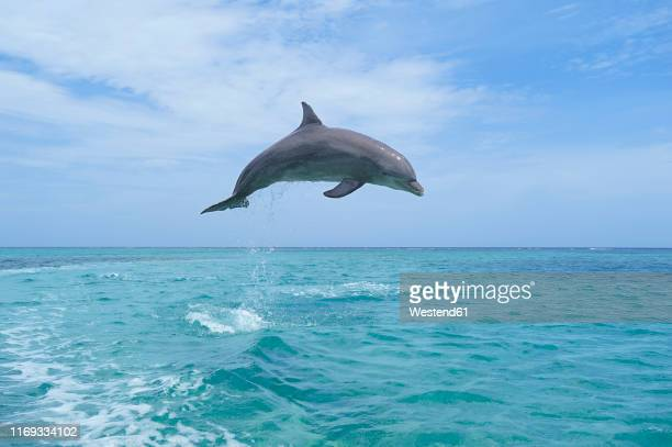 honduras, roatan, bottlenose dolphin jumping in the air - dolphin stock pictures, royalty-free photos & images