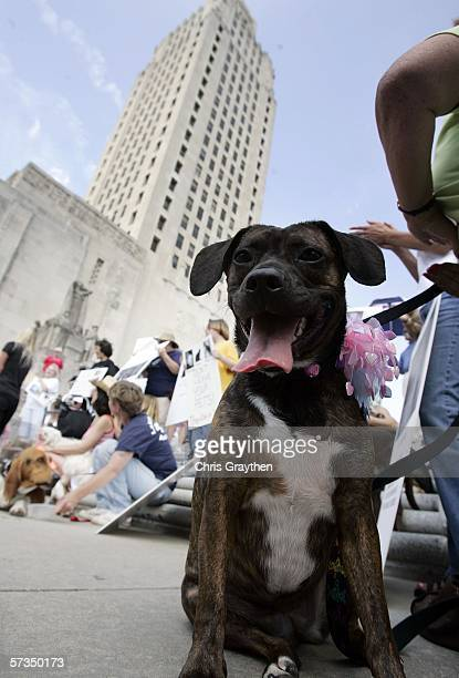 Honey, a Boston Terrier/Boxer mix sits with her owner during a rally to support Senate Bill 607 by U.S. Senator Clo Fontenot at the Capitol Building...