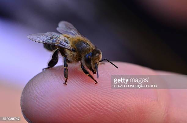 honey africanized - africanized killer bee stock pictures, royalty-free photos & images