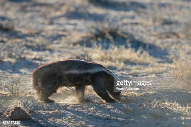 Honey badger at a Cape fox den, Nossob Wadi, Kgalagadi Transfrontier Park, South Africa