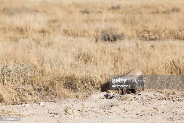 Honey badger, Etosha National Park, Namibia