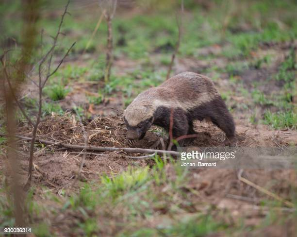Honey Badger hunting, South Africa