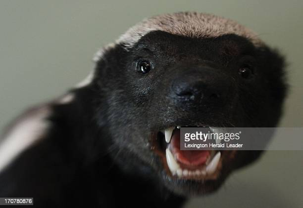 A honey badger is displayed on the wall of Shelby County housewife and greatgrandmother Marty Mason who is among 10 finalists in Eye of the Hunter's...