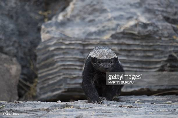 A honey badger is pictured on May 9 2015 at Halali in Etosha park AFP PHOTO / MARTIN BUREAU